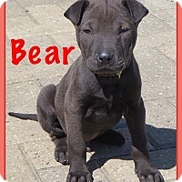 Adopt A Pet :: Bear - Fort Wayne, IN