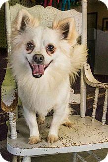 Pomeranian Mix Dog for adoption in Yelm, Washington - Pepsi