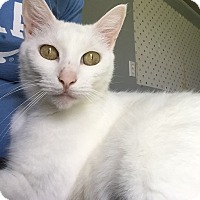Adopt A Pet :: Snowflake - Schertz, TX