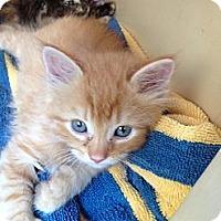 Adopt A Pet :: Tig - Washington, DC