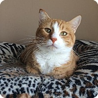 Domestic Shorthair Cat for adoption in St. Louis, Missouri - Goldie