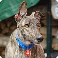 Adopt A Pet :: Mr Ed - Ware, MA