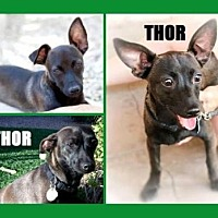 Chihuahua Mix Dog for adoption in Scottsdale, Arizona - Thor