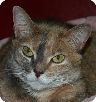 Calico Cat for adoption in North Branford, Connecticut - Hope