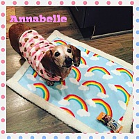 Dachshund Dog for adoption in Green Cove Springs, Florida - Annabelle