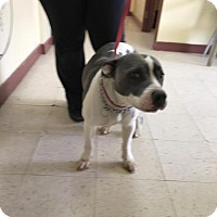 Adopt A Pet :: shelby - Fayetteville, WV
