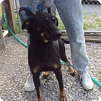 German Shepherd Dog Mix Dog for adoption in Jamestown, Tennessee - Lou Lou