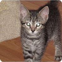Adopt A Pet :: Tiger - Port Republic, MD