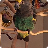 Adopt A Pet :: Sadie - Lenexa, KS