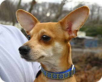Chihuahua Mix Dog for adoption in Oakland, New Jersey - Dingo