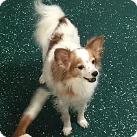 Adopt A Pet :: Fox*ADOPTION FEE WAIVED** - Las Vegas, NV