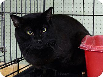 Domestic Shorthair Cat for adoption in Marlinton, West Virginia - Dana
