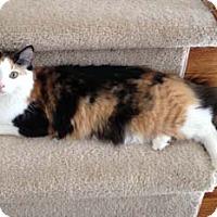 Adopt A Pet :: Thumbelina - Merrifield, VA