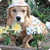 Adopt A Pet :: Gabriella - Sugarland, TX
