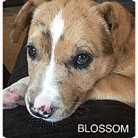 Adopt A Pet :: Blossom - Tempe, AZ