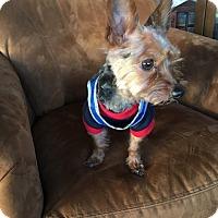 Adopt A Pet :: GIZMO - Sonora, CA