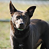 Adopt A Pet :: Shay - Spring Lake, NJ