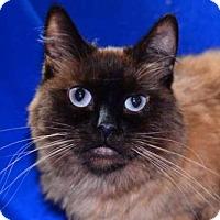 Ragdoll Cat for adoption in Buford, Georgia - kira