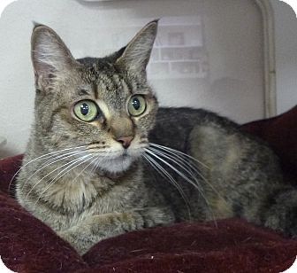 Domestic Shorthair Cat for adoption in St. Petersburg, Florida - Minnie