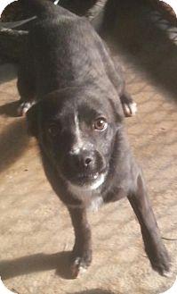 Chihuahua/Rat Terrier Mix Dog for adoption in Pembroke, Georgia - Keegan
