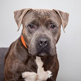 American Staffordshire Terrier Mix Dog for adoption in Mission Hills, California - Donovan