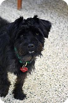 Schnauzer (Miniature) Mix Dog for adoption in Bradenton, Florida - Will