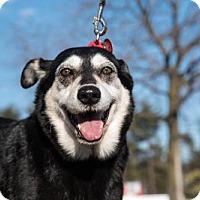 Shepherd (Unknown Type)/Siberian Husky Mix Dog for adoption in Halethorpe, Maryland - Daisy
