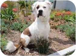 St. Bernard Mix Dog for adoption in Encino, California - Willoughby