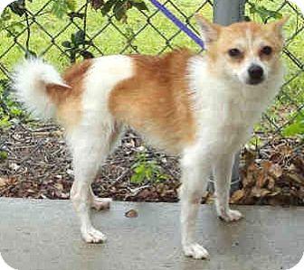 Pomeranian/Chihuahua Mix Dog for adoption in Orlando, Florida - Lilly