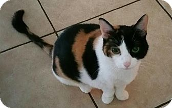 Calico Cat for adoption in Oviedo, Florida - Cali the Calico Beauty