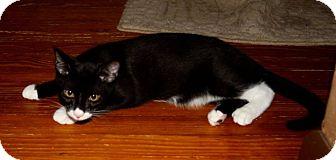 Domestic Shorthair Cat for adoption in Saint Augustine, Florida - Tigger