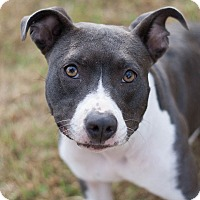 Adopt A Pet :: Layla - Knoxville, TN