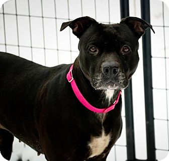 Pit Bull Terrier/Boxer Mix Dog for adoption in Huntington, New York - Juliet