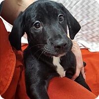 Beagle/Mixed Breed (Medium) Mix Puppy for adoption in Hawk Point, Missouri - Chief
