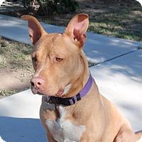 Adopt A Pet :: Bossy - Las Vegas, NV