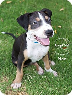 Beagle/Shar Pei Mix Puppy for adoption in Gilbert, Arizona - Neo