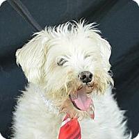 Adopt A Pet :: Arnie - Plano, TX