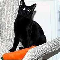 Adopt A Pet :: Velvet - Alexandria, VA
