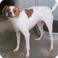 Jack Russell Terrier/Chihuahua Mix Dog for adoption in Tahlequah, Oklahoma - Tuffy