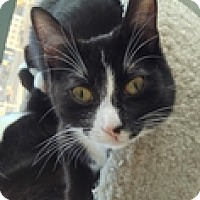 Adopt A Pet :: Clawdia - Vancouver, BC