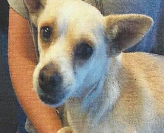 Chihuahua/Terrier (Unknown Type, Medium) Mix Dog for adoption in Longview, Washington - PAULY