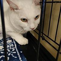Domestic Shorthair Cat for adoption in Avon, Ohio - Snowball