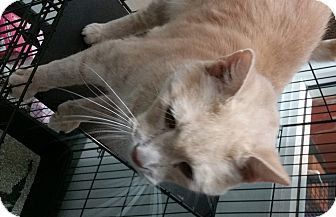 Domestic Shorthair Cat for adoption in Westminster, California - Arnold