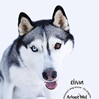 Siberian Husky Dog for adoption in Los Angeles, California - OLIVIA