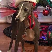 Adopt A Pet :: Messina in DFW area - Argyle, TX