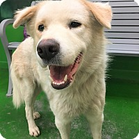 Great Pyrenees/Labrador Retriever Mix Dog for adoption in Kittery, Maine - JUDE