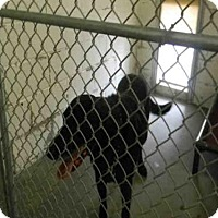 Labrador Retriever Dog for adoption in Easton, Maryland - PORTER
