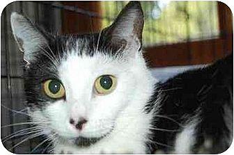 Domestic Shorthair Cat for adoption in Alpharetta, Georgia - Button Nose