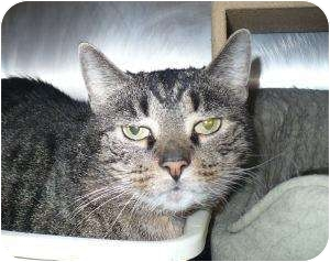 Domestic Shorthair Cat for adoption in Colmar, Pennsylvania - Punkin