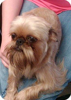 Brussels Griffon Dog for adoption in Burneyville, Oklahoma - CHARLEY - ADOPTION PENDING